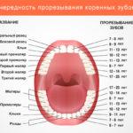 Моляры – это какие зубы и в чем их особенности?