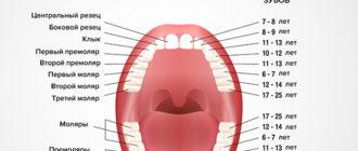Моляры – это какие зубы и в чем их особенности