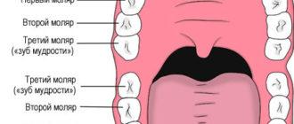 Виды зубов и их количество