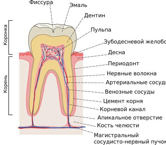 Дентин зуба