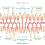 Резцы, клыки, премоляры, моляры — это какие зубы?