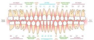 Резцы, клыки, премоляры, моляры - это какие зубы?